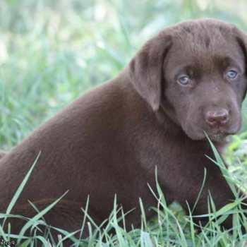 Chocolate Labrador Puppies Price