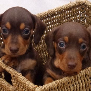 Chocolate Miniature Dachshund Puppies For Sale