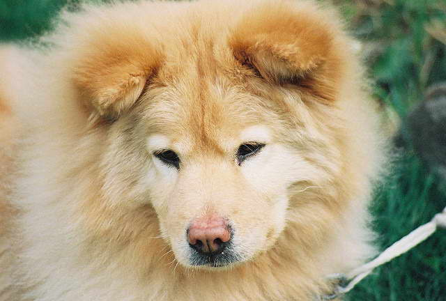 Chow Chow Golden Retriever Mix Puppies For Sale