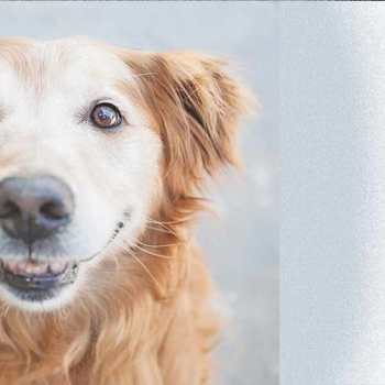 Cincinnati Golden Retriever Rescue