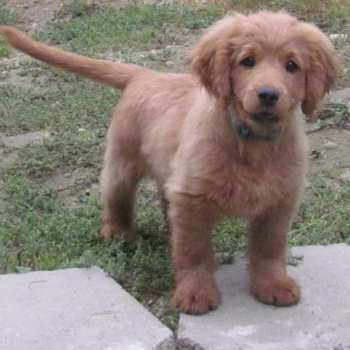 Cocker Spaniel Golden Retriever Puppies For Sale