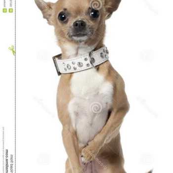 Collar For Chihuahua