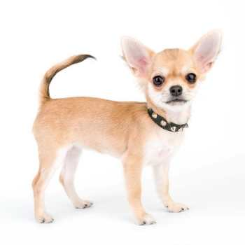 Collars For Chihuahua Puppies