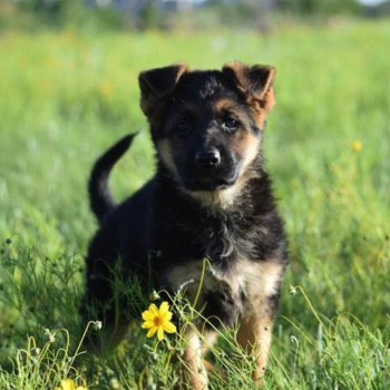 Colorado German Shepherd Puppies