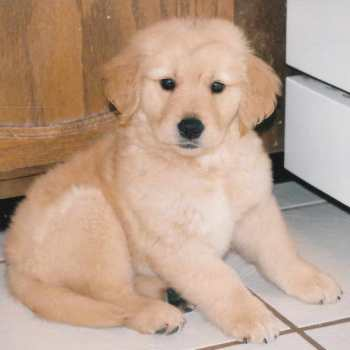 Colorado Golden Retriever Puppies