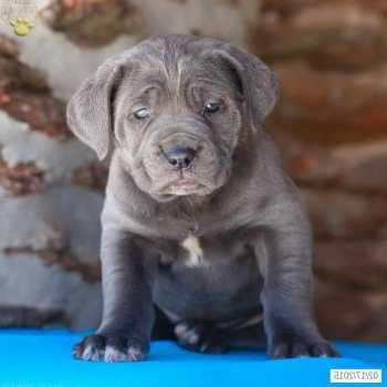 Cane Corso Mastiff Puppies For Sale In Pa