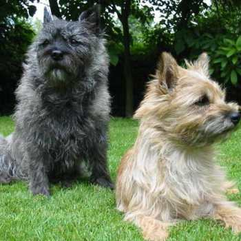 Carin Terrier For Sale