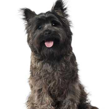 Carrier Terrier Dog