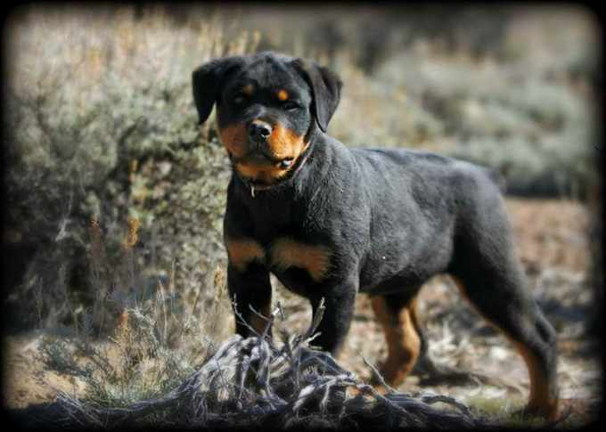 Cheap German Rottweiler Puppies For Sale