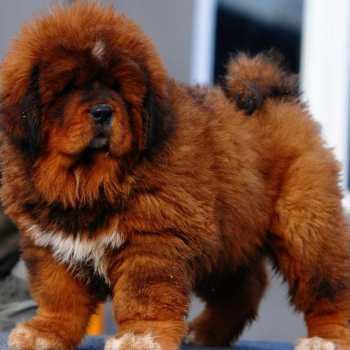 Chinese Tibetan Mastiff For Sale