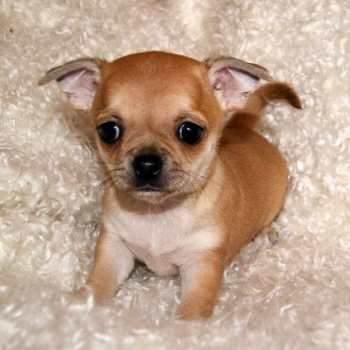 Chiuaua Pug Puppies