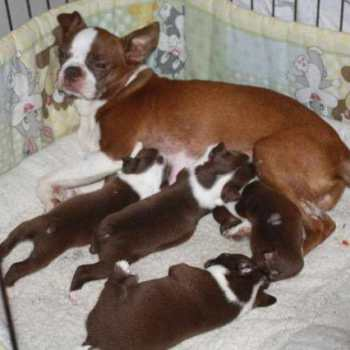 Chocolate Boston Terrier Puppies For Sale