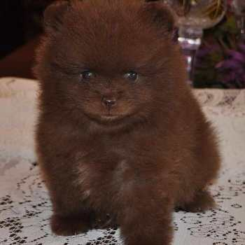 Chocolate Pomeranian For Sale