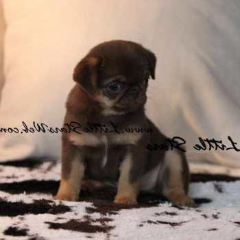 Chocolate Pug For Sale