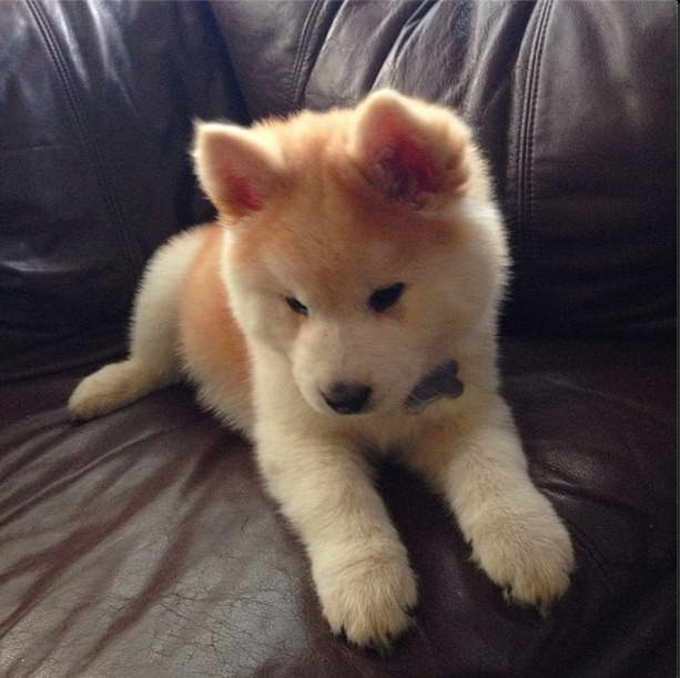 Chow Chow And Husky Mix Puppies For Sale