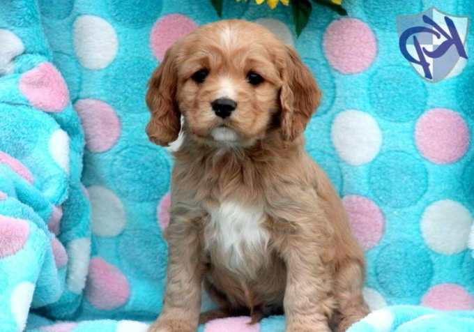 Cocker Spaniel Terrier Mix For Sale