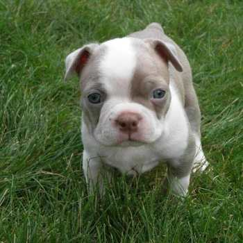Colorado Boston Terrier Puppies