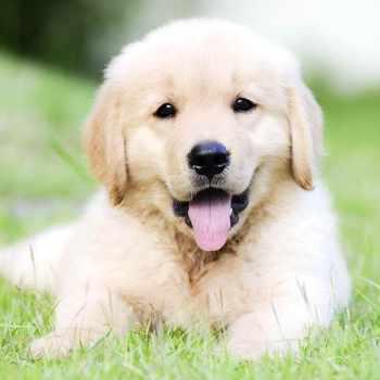 Cost Of A Golden Retriever Puppy