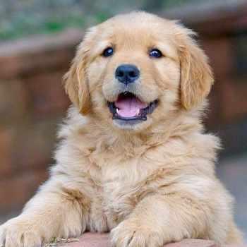Cost Of Golden Retriever Puppies