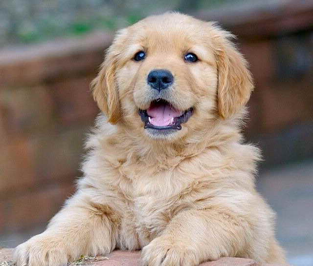 Cost Of Golden Retriever Puppies