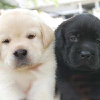 Cost Of Labrador Puppy