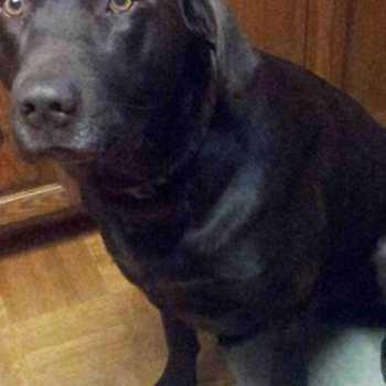 Craigslist Chocolate Labrador