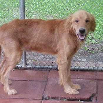 Craigslist Golden Retriever Puppies