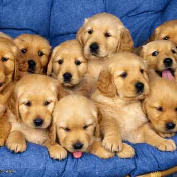 Cute Baby Golden Retriever Puppies