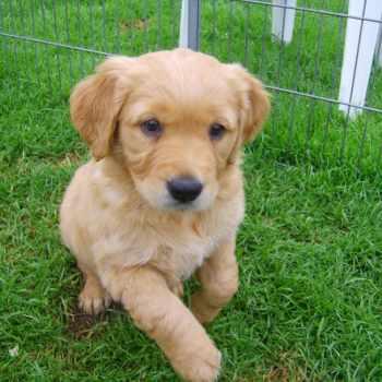 Dark Golden Retriever Puppies For Sale