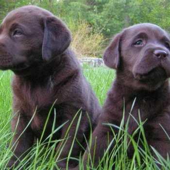 Denver Labrador Puppies