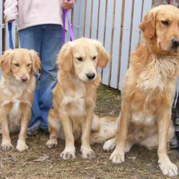Dog That Looks Like A Mini Golden Retriever