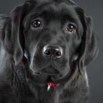 English Black Labrador Retrievers