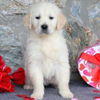 English Cream Golden Retriever Puppies For Sale In Pa
