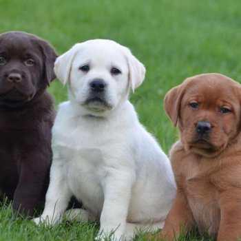 English Labrador Retriever For Sale