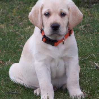 English Yellow Labrador Puppies For Sale