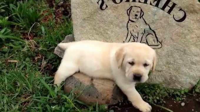 English Yellow Labrador Puppies