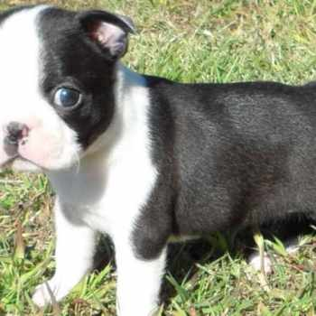 Female Boston Terrier Puppies For Sale