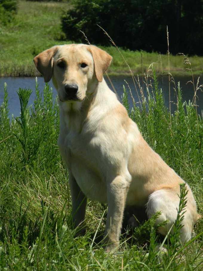 Field Bred Labrador Retriever Breeders