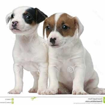Free Jack Russel Terrier