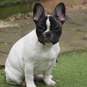 French Boston Terrier