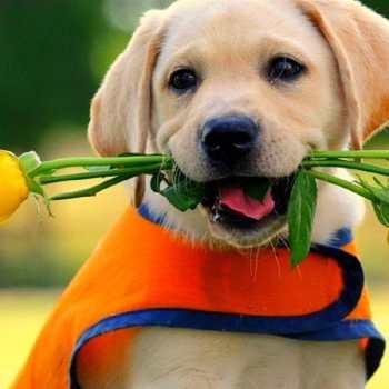 Funny Labrador Retriever Videos