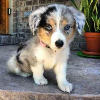 Corgi Australian Shepherd Mix Puppies For Sale