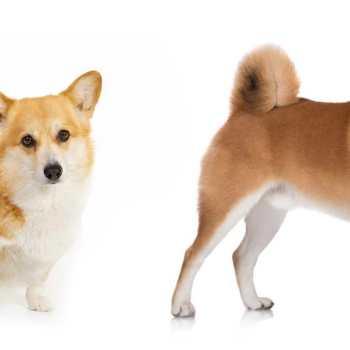Corgi Shiba Inu Puppies