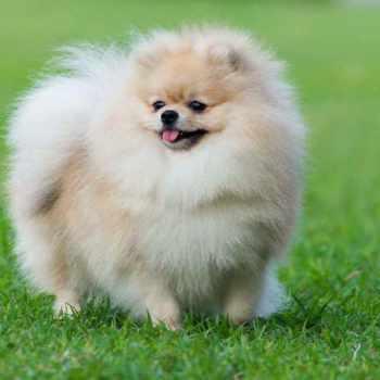 Cost Of A Pomeranian