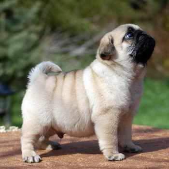 Cost Of Pug