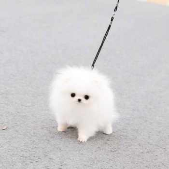 Cotton Ball Pomeranian For Sale