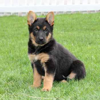 Craigslist German Shepherd Puppies