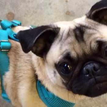 Ct Pug Rescue