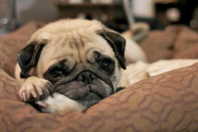 Curley Tail Pug Rescue