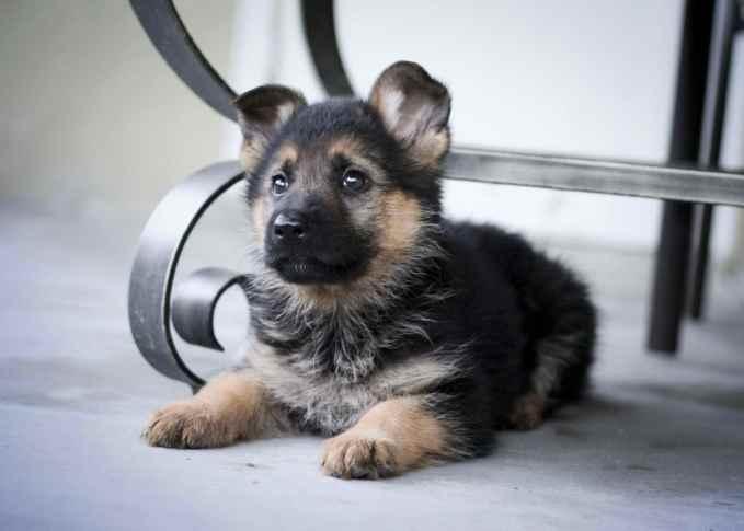 Cute German Shepherd Puppies Pictures